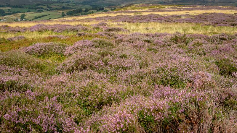 Heather moorland - a purple carpets of blooming heather stretch stock photo