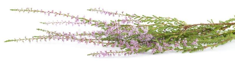 Heather. Purple heather (Calluna vulgaris) on white background stock photography