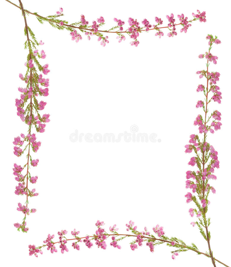 Heather sprig royalty free stock photos