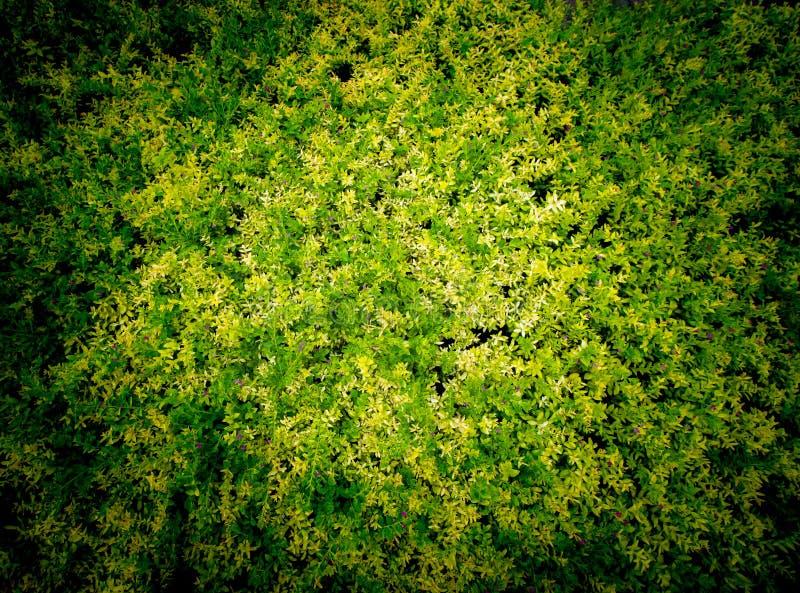 Heather Tree Leaves falsa hace blanco amarillo foto de archivo libre de regalías