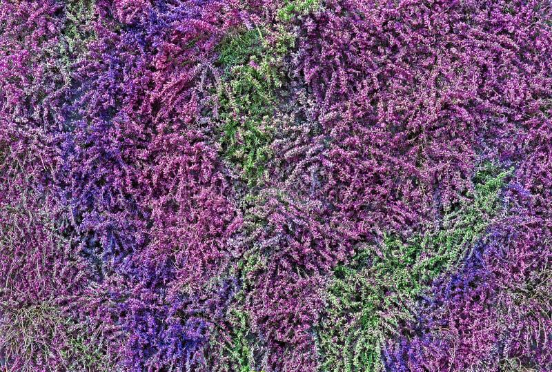 Heather von verschiedenen Farbschatten Anlagen und Blumen für Landschaftsgartenentwurf stockbilder