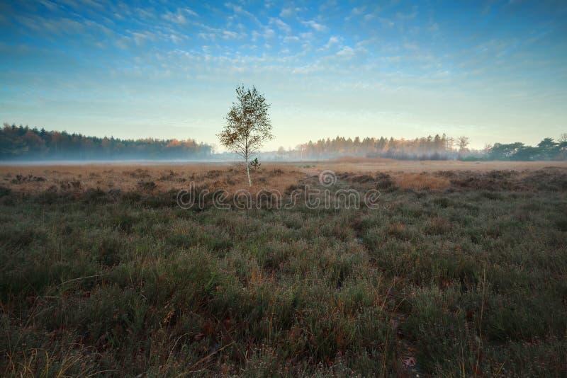 Heatherland i jeden brzozy drzewo w jesieni obraz stock