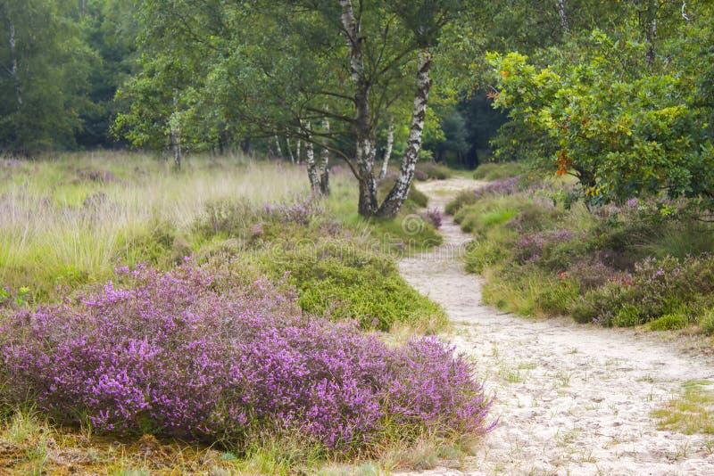 Heathland i nationalparken Maasduinen, Nederländerna arkivfoto