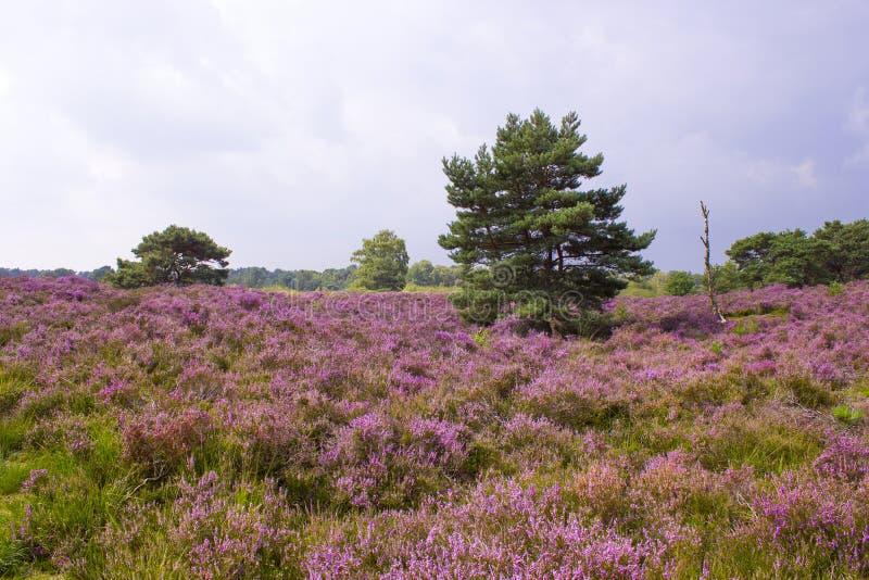 Heathland in National Park Maasduinen, Netherlands stock images