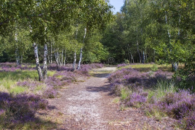 Heathland in National Park Maasduinen, the Netherlands royalty free stock image