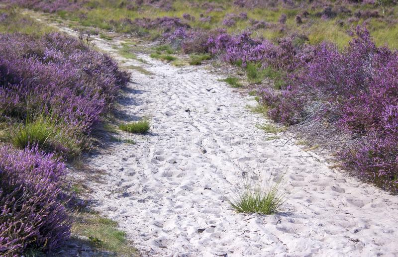 Heathland in National Park Maasduinen, the Netherlands royalty free stock images