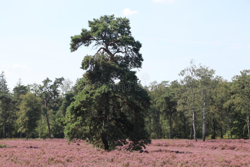 Heathland in purple color in Gelderland on Veluwe on the end of the summer in the Netherlands. royalty free stock photography