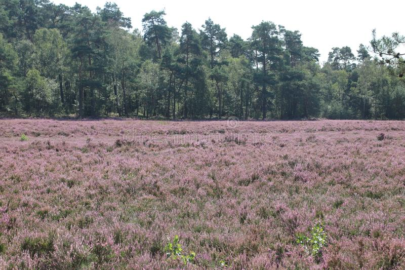 Heathland in purple color in Gelderland on Veluwe on the end of the summer in the Netherlands. stock photos
