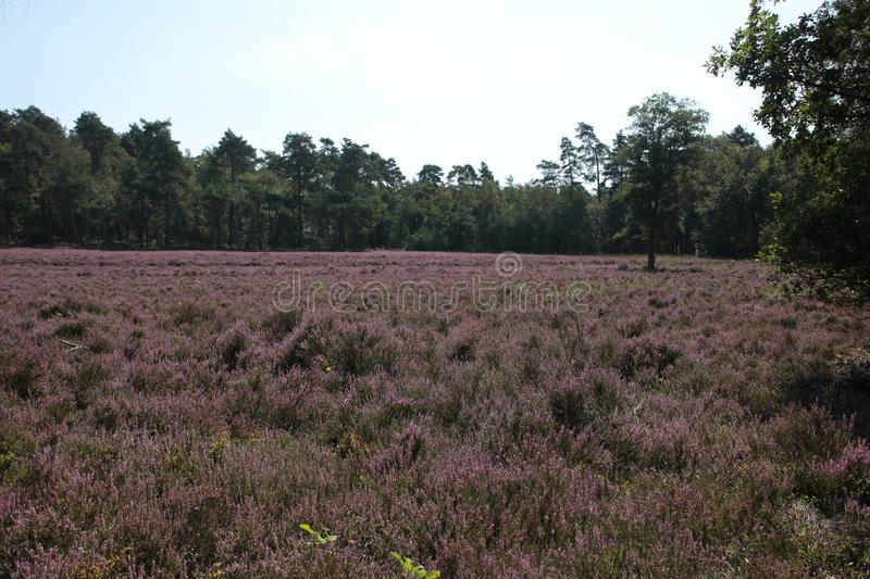 Heathland in purple color in Gelderland on Veluwe on the end of the summer in the Netherlands. stock photo