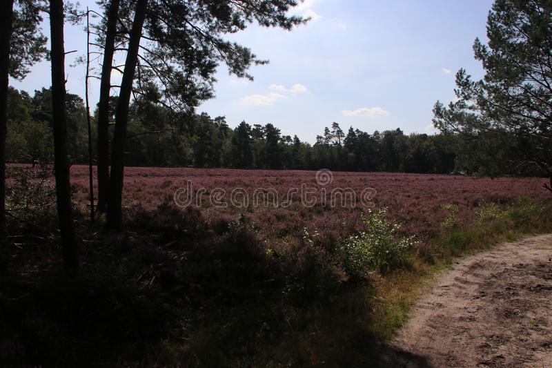 Heathland in purple color in Gelderland on Veluwe on the end of the summer in the Netherlands. stock photography