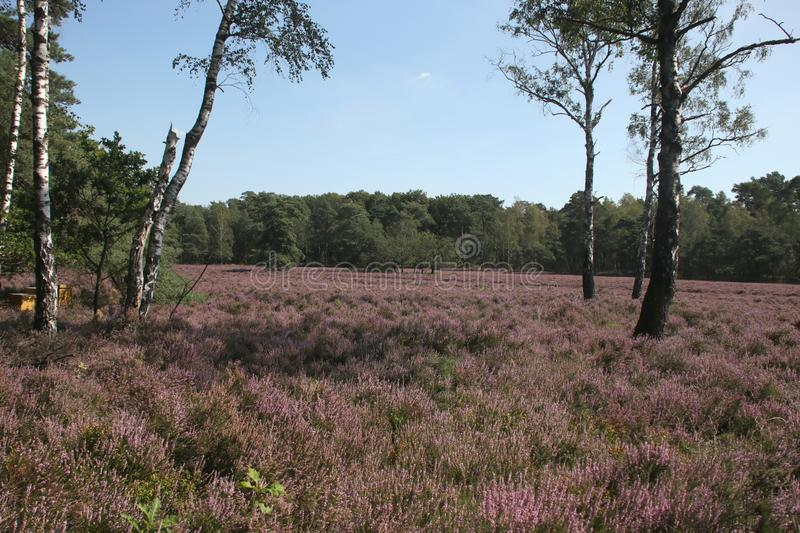 Heathland in purple color in Gelderland on Veluwe on the end of the summer in the Netherlands. royalty free stock photo