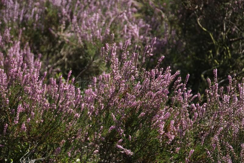 Heathland in purple color in Gelderland on Veluwe on the end of the summer in the Netherlands. royalty free stock image
