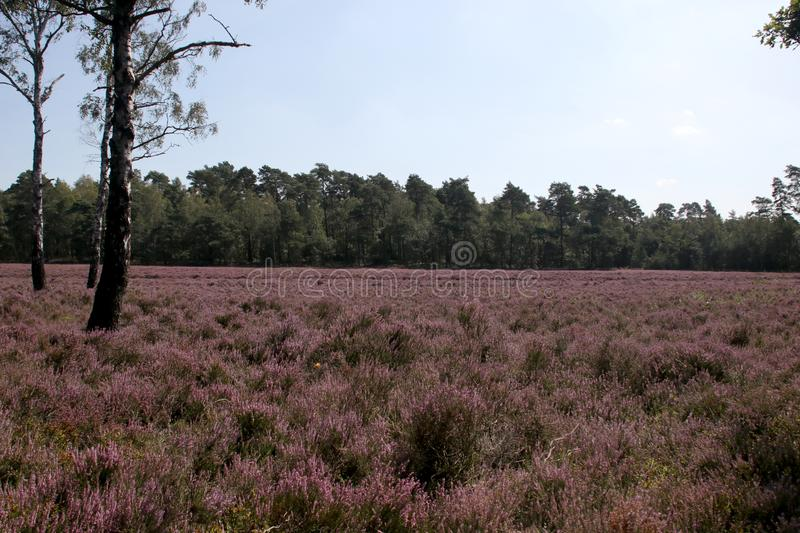 Heathland in purple color in Gelderland on Veluwe on the end of the summer in the Netherlands. stock image