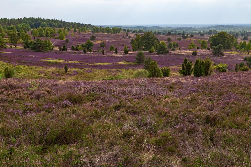 Heathland with purple erica royalty free stock image