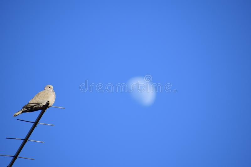 Heating pigeon  on first spring sun. Pigeon is heating and chill out after winter royalty free stock photos