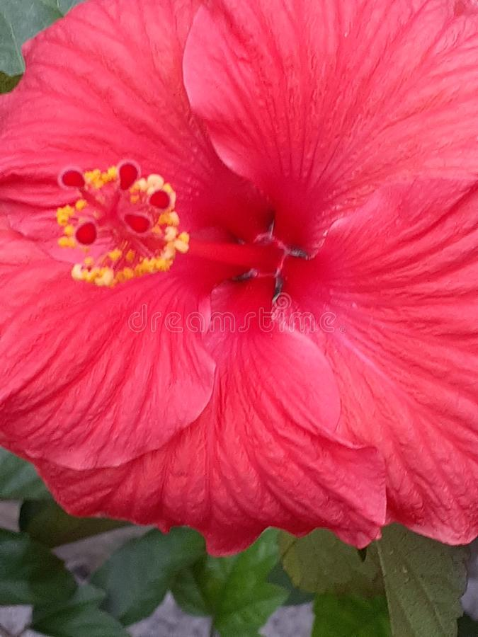 Heavenly hibiscus arkivbilder