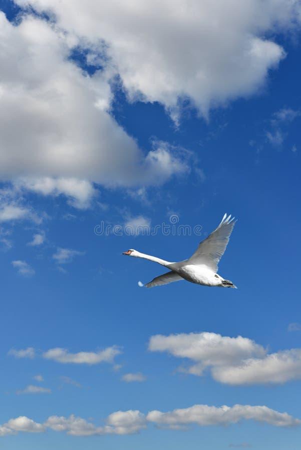 Heavenly landscape. Mute swan Cygnus olor flying royalty free stock photo