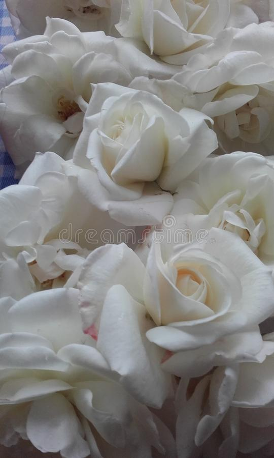 Heavenly scented roses stock photo