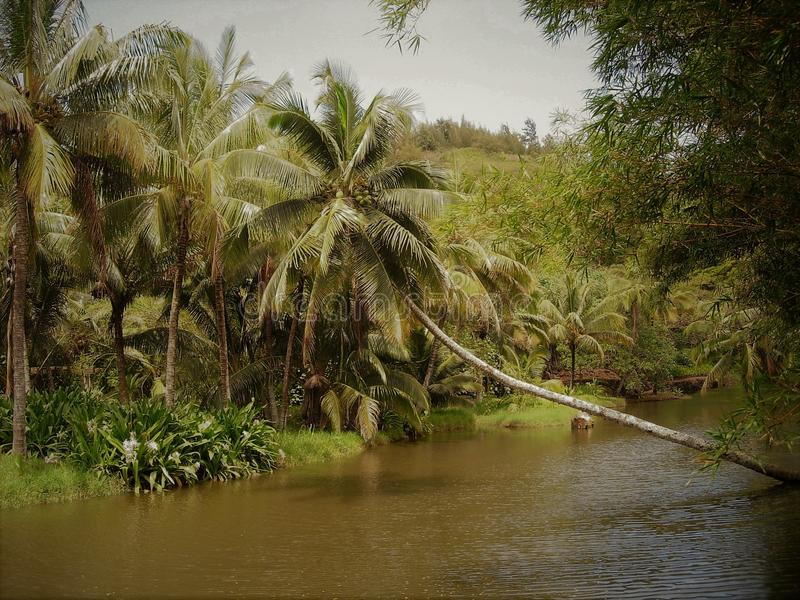 Heavily laden coconut palm hanging over a pond in Hawaii royalty free stock image