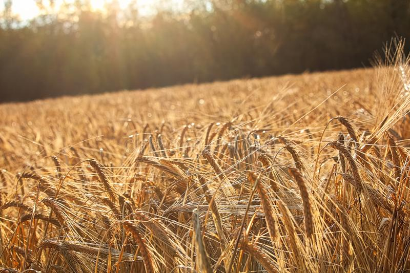 Heavy barely heads in a field bend as the sun sets.  stock photography