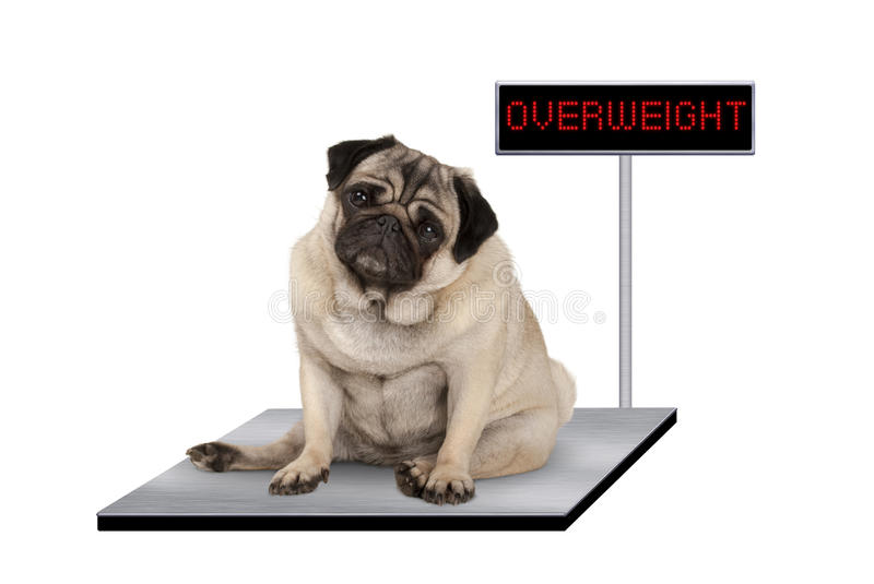Heavy fat pug puppy dog sitting down on vet scale with overweight LED sign. Isolated on white background stock photography