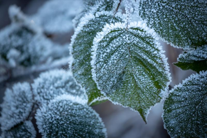 Heavy frost on leaf. Heavy frost on leaf in winter during early morning `blue hour`. Soft edge and vignette effects added royalty free stock photography