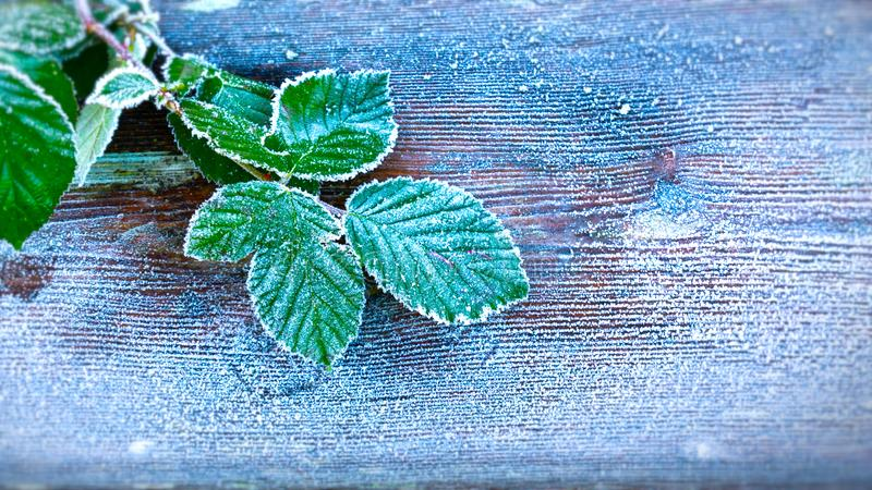 Heavy frost on leaves. stock photos