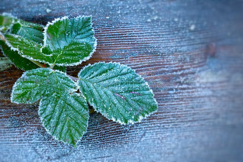 Heavy frost on leaves. stock photo