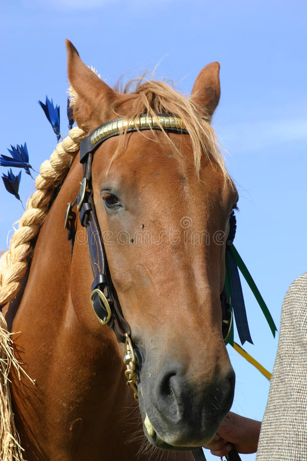 Heavy horse at show. Heavy brown horse at an agricultural show with bridle and rope. Background of blue sky stock images