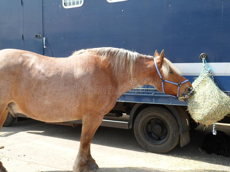 Heavy Horse Snack Time royalty free stock photos