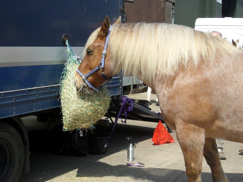 Heavy Horse Snacking on Hay Net stock photo