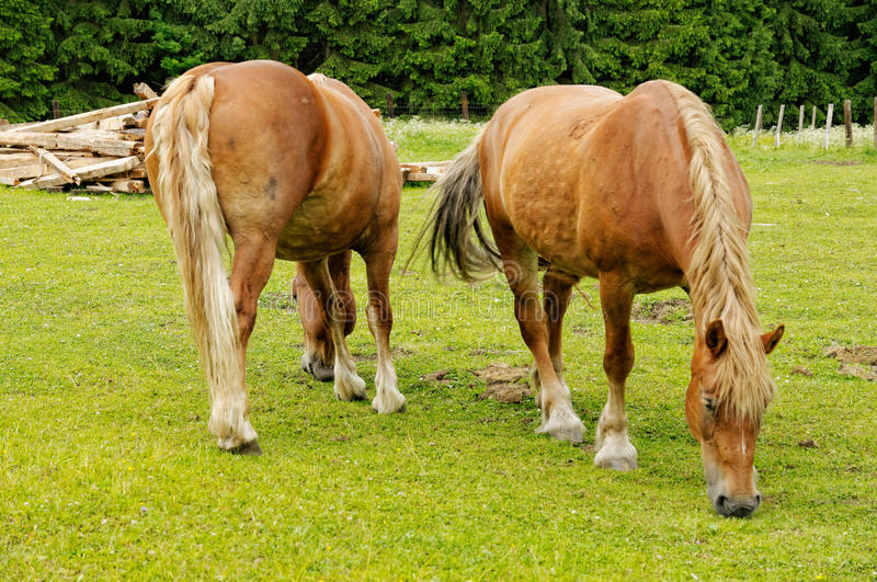 Heavy horses grazing in a meadow on a sunny day stock image