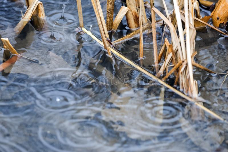 Heavy raindrops splashing into shallow clear water between reeds stock photos