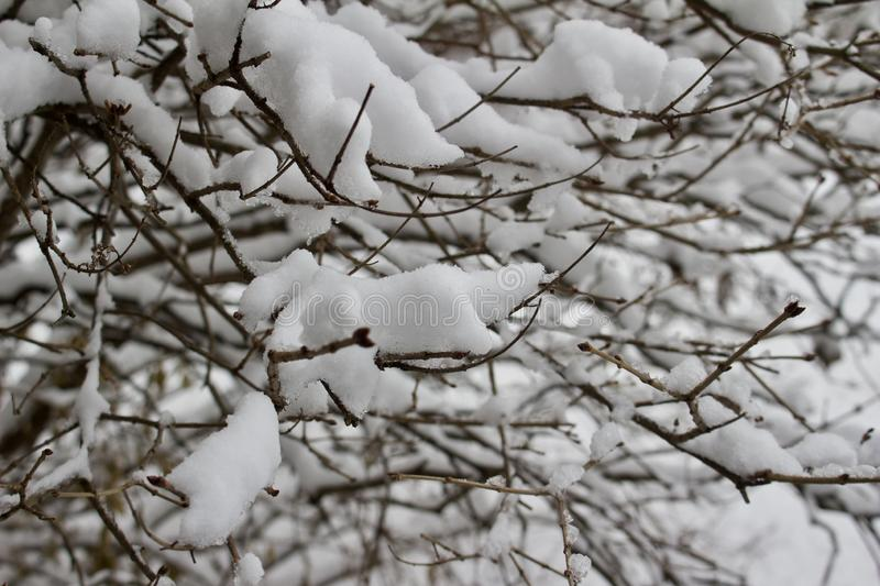 Heavy snow accumulation on the branches of a bare bush after a snow storm. This image texture shows a close up view of heavy white snow accumulation on the stock images