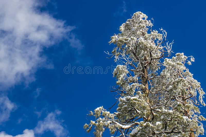 Heavy Snow On Tree Tops With Blue Sky Background. Heavy Wet Snow On Tree Tops In Winter With Blue Sky Background royalty free stock photos