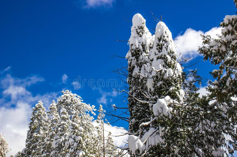 Heavy Snowfall Coating Forest Trees. Heavy Snowfall Coat Trees In Forest With Blue Sky Background royalty free stock images