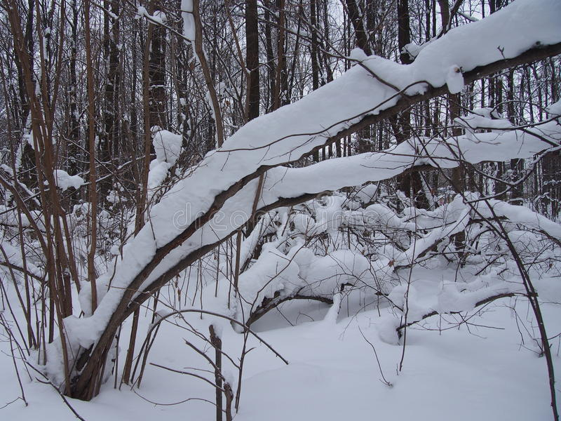 After a heavy snowfall. In the winter forest. Snow bowed trees. In the winter park. After a heavy snowfall stock photo