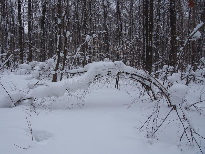 After a heavy snowfall. In the winter forest. Snow bowed trees. In the winter park. After a heavy snowfall stock image