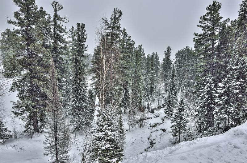 Heavy snowfall in the winter mountain coniferous forest royalty free stock photography