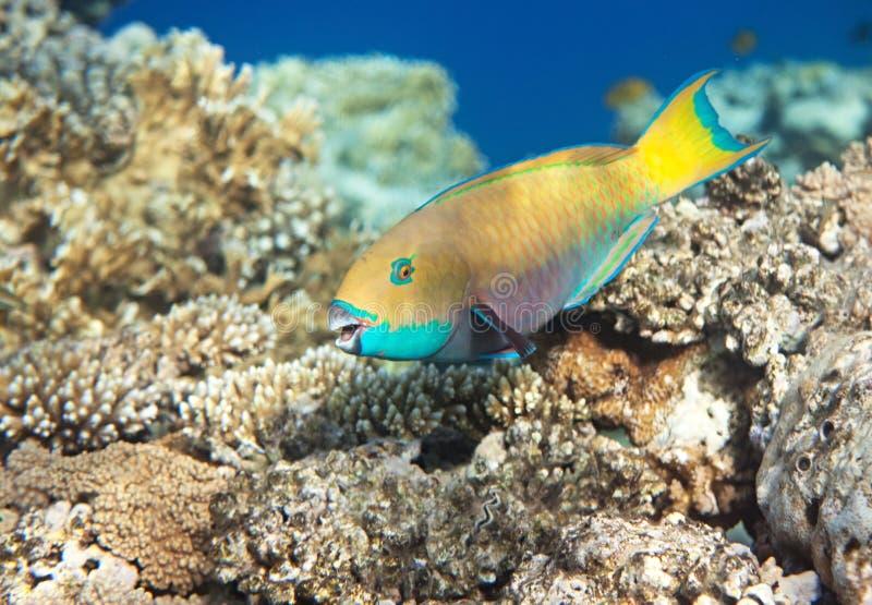 heavybeakparrotfish arkivbild