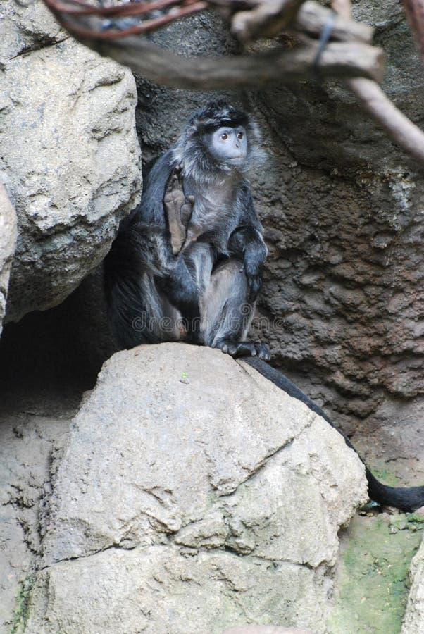 Hebanu Langur małpy obsiadanie na skale zdjęcia stock
