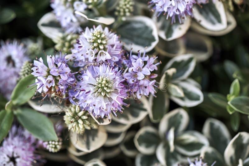 Hebe ou usine de Veronica d'hiver du Scrophulariaceae de famille photographie stock