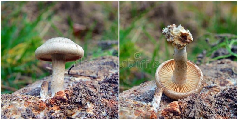 Hebeloma snapizans mushroom. Hebeloma sinapizans, also known as the rough-stalked Hebeloma royalty free stock images