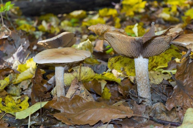 Hebeloma sinapizans. Rough-stalked hebeloma (Hebeloma sinapizans) mushroom in the forest stock photos