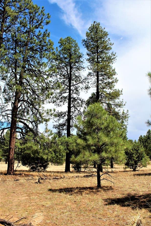 Heber Overgaard, le comté de Navajo, réserve forestière de Sitgreaves, Arizona, Etats-Unis photos stock