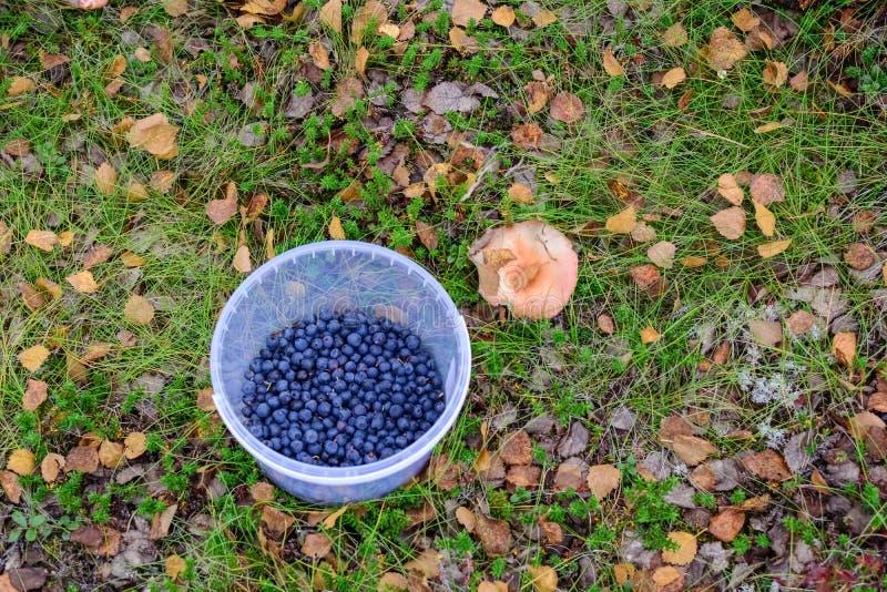 Hebilla de Plasic del arándano en un bosque del norte imagen de archivo libre de regalías