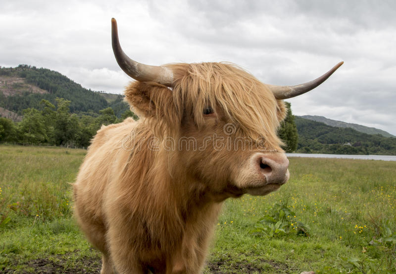 Hebridean breed royalty free stock photography