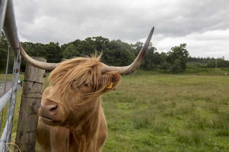 Hebridean breed royalty free stock photos