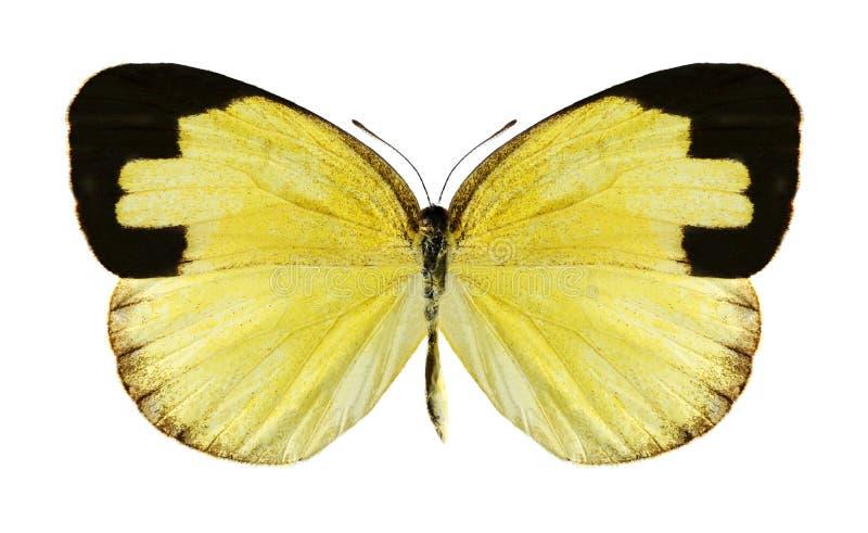 Hecabe de Eurema de la mariposa (femenino) foto de archivo libre de regalías