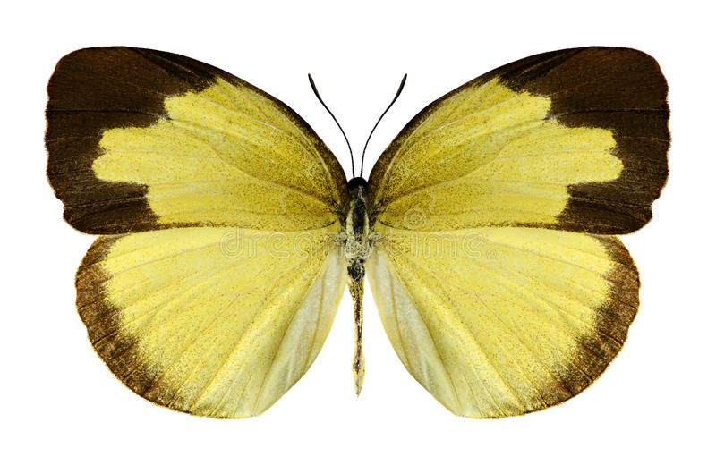 Hecabe de Eurema de la mariposa (femenino) foto de archivo